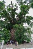 在打包机的千年树 免版税图库摄影