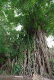 在打包机的千年树 库存图片