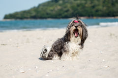 在打呵欠的海滩的逗人喜爱的Bichon Havanese狗 免版税图库摄影