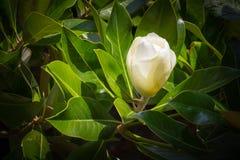 在打开前的木兰芽。 库存图片