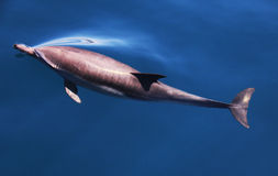 在打破表面的水下的海豚属 库存图片