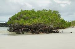 在托尔蒂岛海湾海滩的美洲红树 库存图片