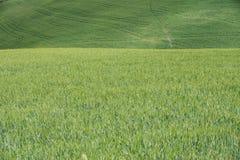 在托斯卡纳的小山的绿色麦田 免版税库存照片
