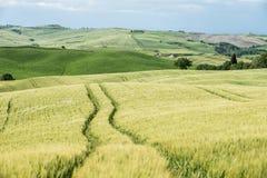 在托斯卡纳的小山的绿色麦田 图库摄影