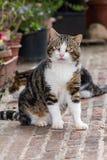 在托斯卡纳画象的好奇猫 图库摄影