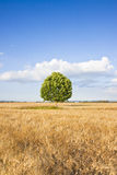在托斯卡纳wheatfield的被隔绝的树 免版税库存图片