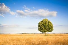 在托斯卡纳wheatfield的被隔绝的树 免版税库存照片