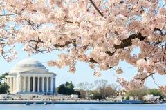 在托马斯・杰斐逊纪念品的樱花节日在Washingt 库存照片