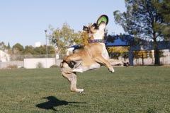 在扭转的空中的牛头犬与盘 免版税库存图片