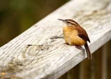 在扶手栏杆栖息的卡罗来纳州鹪鹩 免版税图库摄影