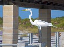 在扶手栏杆的大白色苍鹭 库存照片