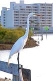 在扶手栏杆的大白色苍鹭 免版税库存照片