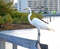 在扶手栏杆的大白色苍鹭 库存图片
