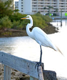 在扶手栏杆的大白色苍鹭 免版税图库摄影