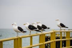 在扶手栏杆的海鸥在智利的海岸 免版税库存照片