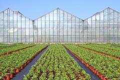 在批发的罂粟属。 免版税库存图片