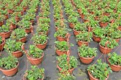 在批发的草莓植物 免版税库存图片