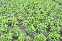 在批发的草莓植物 库存图片