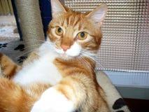 在抓岗位的猫的猫奥利佛史东 免版税库存照片