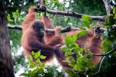 在投入国家公园的tanjung的猩猩 库存图片