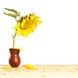 在投手的大向日葵在一张木桌上 库存照片