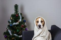 在投掷毯子画象的狗在装饰的圣诞树前面 免版税图库摄影