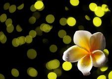 在抽象黄色背景的热带赤素馨花花 免版税库存照片