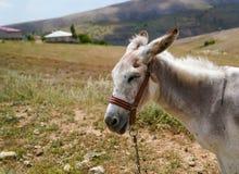 在拉丁的白色驴asinus 免版税库存图片