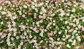 在拉伊看见的白色和桃红色雏菊,肯特,英国 免版税库存图片