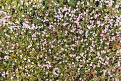 在拉伊看见的白色和桃红色雏菊,肯特,英国 免版税图库摄影