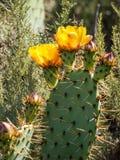 在拉古纳海岸原野公园的开花的Pricky梨仙人掌 免版税库存照片
