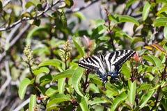 在拉古纳海岸原野公园,拉古纳海滩,加利福尼亚的苍白Swallowtail蝴蝶 库存图片