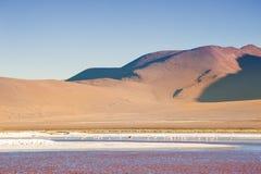 在拉古纳Colorada, Altiplano,玻利维亚的桃红色火鸟 库存照片