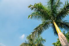 在拉吉夫・甘地公园的棕榈树在乌代浦,印度 库存图片