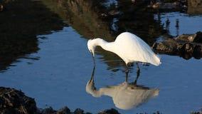 在拉姆萨尔的小白鹭 库存图片