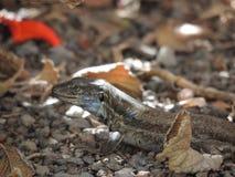 在拉帕尔玛岛,加那利群岛,西班牙的蜥蜴 库存照片