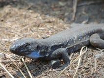 在拉帕尔玛岛,加那利群岛,西班牙的蜥蜴 免版税图库摄影