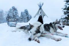 在拉扯一个雪撬以后的疲乏的拉雪橇狗公里 免版税库存图片