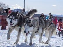 在拉扯雪橇竞争的鞔具的两条狗 库存图片