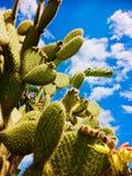 在拉纳卡离开狂放的仙人掌,生长在塞浦路斯的南部 图库摄影