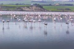 在拉纳卡,塞浦路斯盐湖的桃红色和灰色火鸟  图库摄影