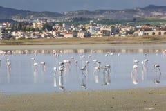 在拉纳卡,塞浦路斯盐湖的桃红色和灰色火鸟  免版税库存图片