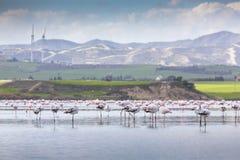 在拉纳卡,塞浦路斯盐湖的桃红色和灰色火鸟  库存照片