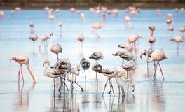 在拉纳卡,塞浦路斯盐湖的野生火鸟  免版税库存照片