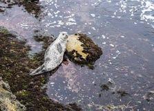 在拉霍亚小海湾的好奇斑海豹小狗在圣地亚哥,加利福尼亚 免版税库存图片