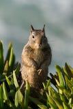 在拉霍亚海岸的灰鼠 免版税库存图片