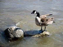 在拍动it's羽毛的岩石的加拿大鹅 图库摄影