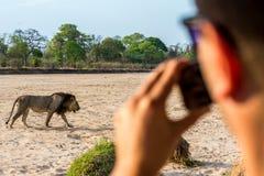 在拍摄狮子的徒步旅行队 免版税库存图片