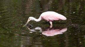 在拔塞螺旋沼泽佛罗里达的粉红琵鹭 免版税图库摄影