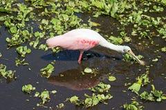 在拔塞螺旋沼泽佛罗里达的粉红琵鹭 库存图片